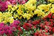 fleurs de kalanchoés