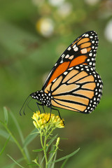 Monarch Butterfly (Danaus plexippus) Pollinating a Goldenrod