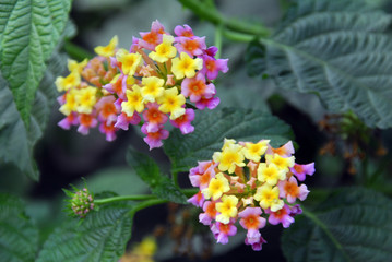 yellow red lantana flower