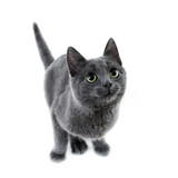 russian blue kitten - 28470004