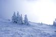 Tannen im Frost