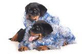 Purebred Rottweiler puppy, 2 months poster