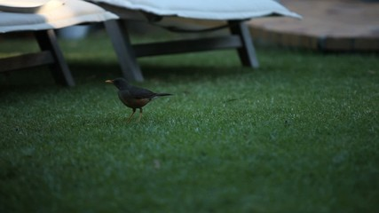 Blackbird on the grass