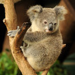 Koala joey sits on a branch