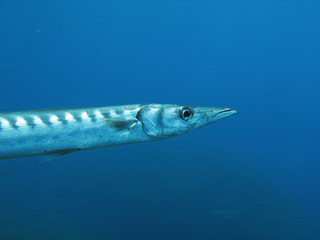 Barracuda fish.