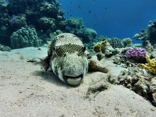Kugelfisch im roten Meer
