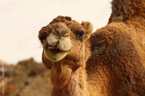 Foto op Aluminium Kameel Morocco Camel Sahara Desert