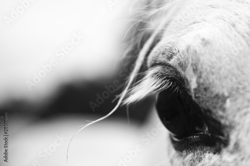 White horse's black and white art portrait - 28508815