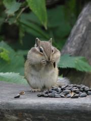Chipmunk sits and stuffs the cheeks