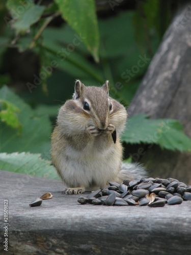 Chipmunk sits and stuffs the cheeks