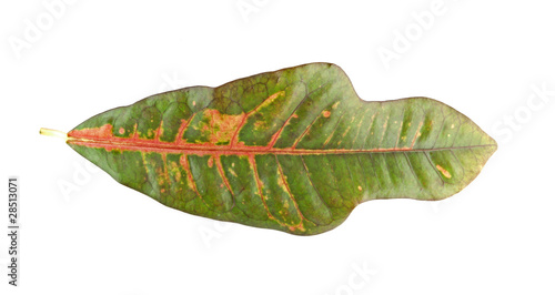 A colorful Croton leaf isolated on white