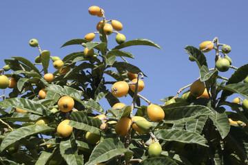 Orange Loquat  fruit - Mediterranean region, Crete