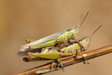 mating locusts