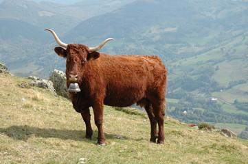 vache salers et sa cloche