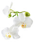 Blooming white orchid plant isolated on white background. Sdof