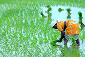 Indian farmer working on Field