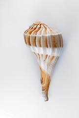 Lightning Whelk Shell Isolated On White