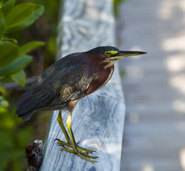 Green Heron on fence
