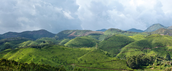 Panorama of tea plantations