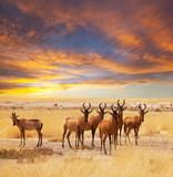 Fototapete Antilope - Pug - Säugetiere