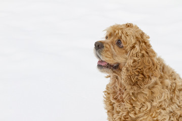 Red spaniel dog play in the snow in winter looks requests have.