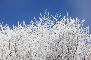 Snow-covered tree branches against the blue sky