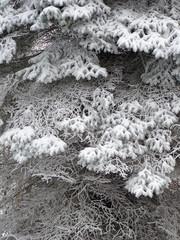Tannenzweige - schneebeladen