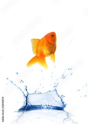 GOlden fish Carassius auratus jumping from water