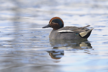 Common Teal , Anas crecca