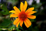 The Mexican Sunflower Weed