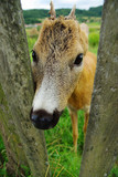 Young deer, fawn in captivity poster