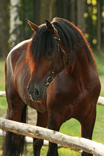 Beautiful bay horse in forest