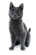 Quadro russian blue kitten