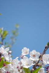 桜と青空-縦
