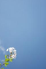 青空へ向かう桜-縦