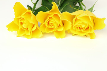 Yellow roses on the white