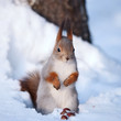 Squirrel standing on the snow