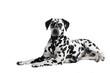 Hund Dalmatiner liegend