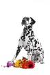 Hund Dalmatiner sitzend mit Blumen
