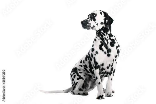 Hund Dalmatiner sitzend