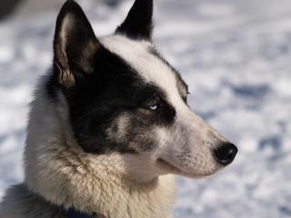 Schlittenhund