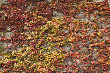 Stone retaining wall covered with ivy leaves in autumn