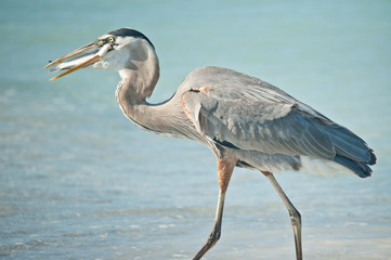 Great Blue Heron Eating a Fish on a Florida Beach
