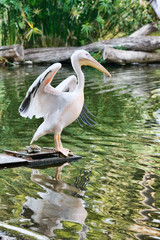 Wildlife-Pelican on the lake