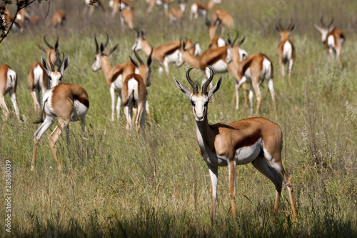 Plexiglas Antilope Springböcke in der Savanne