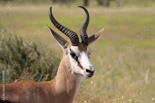 Staande foto Antilope Springbock close up