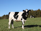 Black And White Holstein Friesian Dairy Cow
