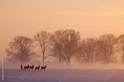 canvas print picture roe deer wintertime