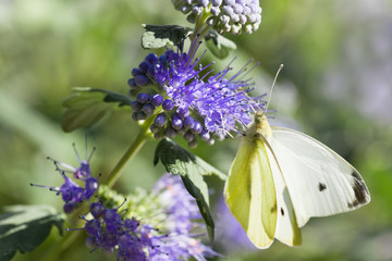 Butterfly Large white on Caryopteris or Bluebeard