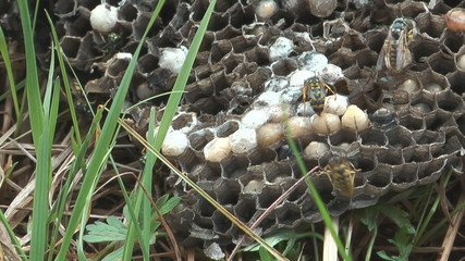 HD 1080 close up shot of wasps on the comb.
